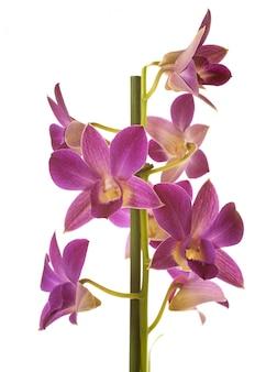 Orchidee di dendrobium in studio