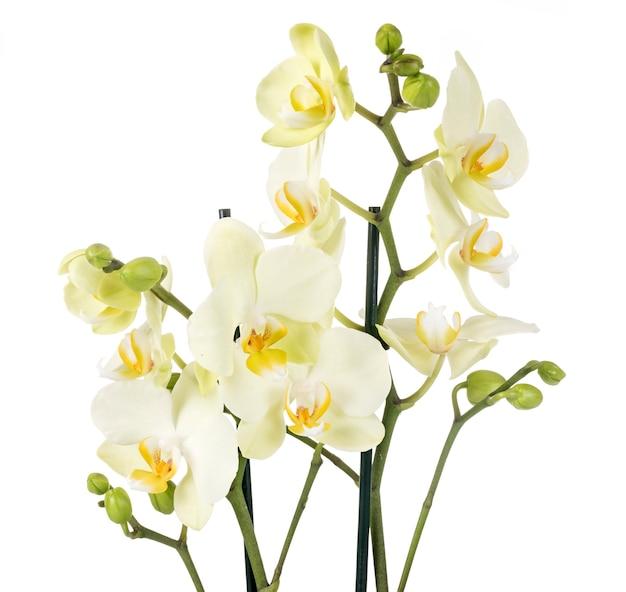 Orchidee falena in studio