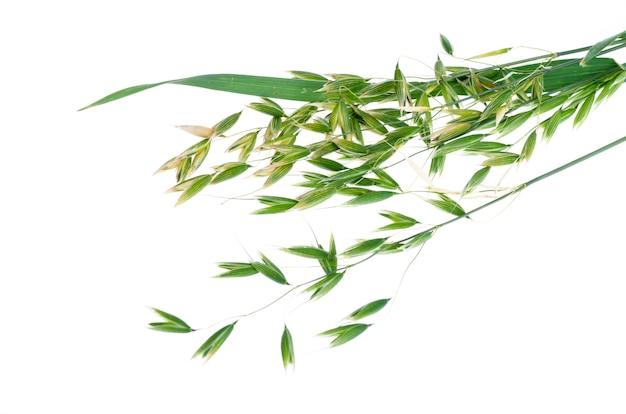 Orecchie di avena verde acerbo (avena sativum), isolate su sfondo bianco