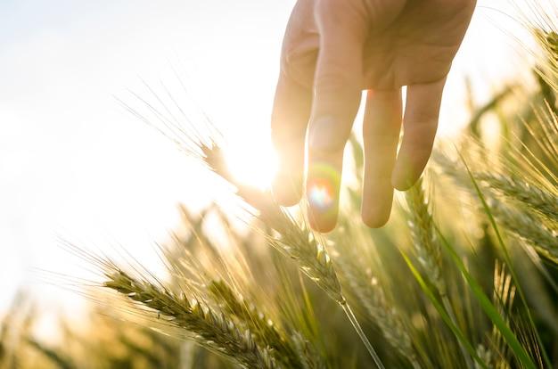 Orecchie di grano commoventi della mano del coltivatore