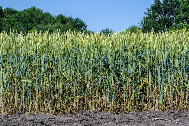 Orecchie di grano, piene di grano, sul campo, contro il cielo e altre piante