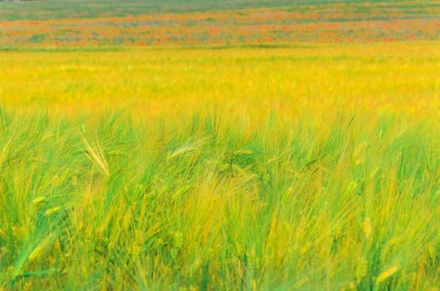 Orecchie di maturazione del fondo di grano giallo nel campo