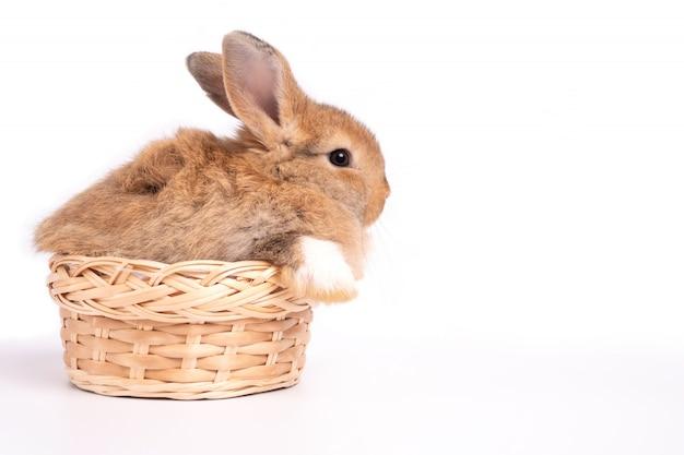Orecchie erette di coniglio marrone rosso carino peloso e soffice sono seduti nel cestino