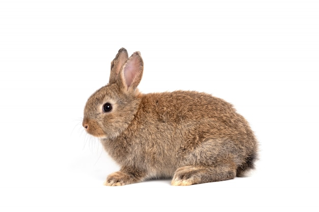 Orecchie erette di coniglio marrone rosso carino peloso e soffice sono seduti