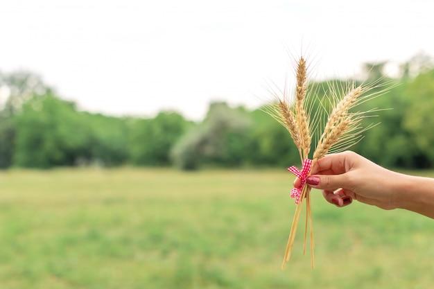Orecchio del grano della tenuta della donna in mani a prato inglese verde