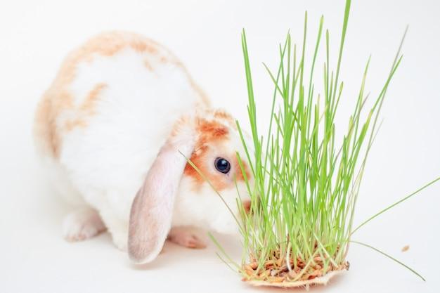 Orecchio domestico di lop piccolo coniglio di colore rosso e bianco che mastica erba verde