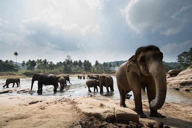 Orfanotrofio dell'elefante di pinnawala, sri lanka