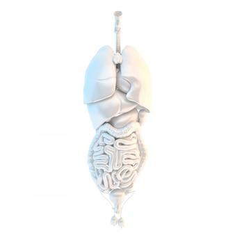 Organi interni umani illustrazione 3d isolato. contiene il percorso di ritaglio