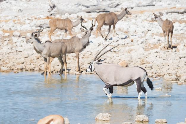 Orice bevendo dalla pozza d'acqua di okaukuejo alla luce del giorno. safari della fauna selvatica nel parco nazionale di etosha, la principale destinazione di viaggio in namibia, africa.