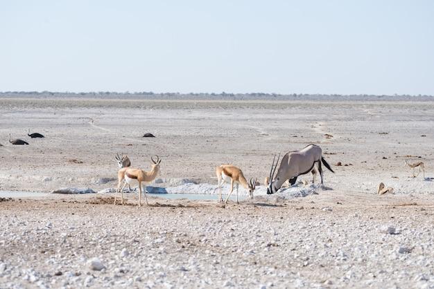 Orice in piedi nella savana africana, il maestoso parco nazionale etosha, la migliore destinazione di viaggio in namibia, africa.
