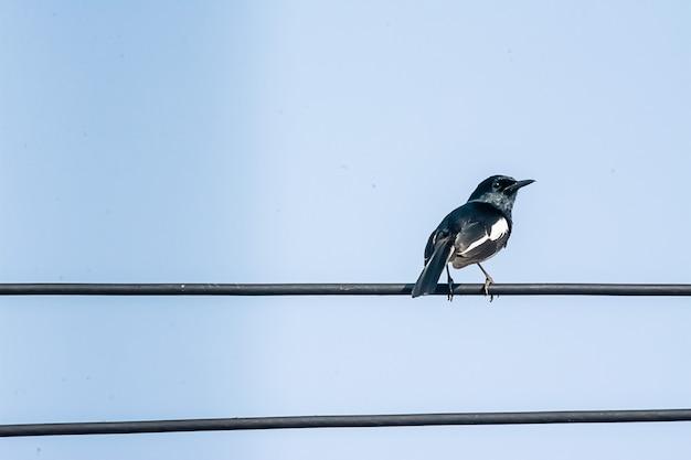 Oriental magpie robin il bellissimo uccello