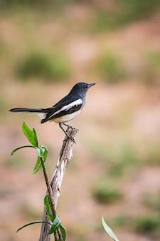 Oriental magpie robin il bellissimo uccello,