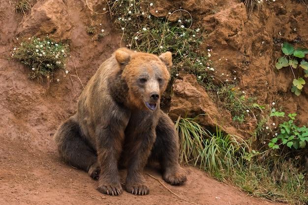 Orso bruno in una riserva naturale