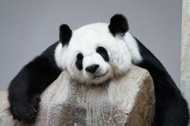Orso di panda gigante che dorme sulle rocce.