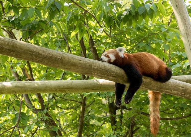 Orso di panda minore che riposa su un ceppo, sembrante depresso e stanco. foresta verde sullo sfondo.