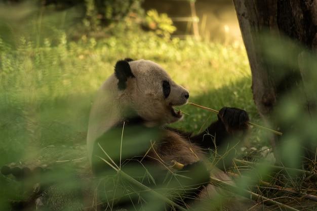 Orso panda che mangia