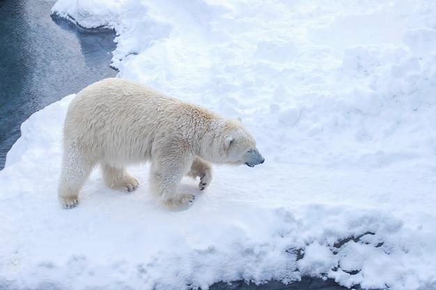 Orso polare in una giornata nevosa invernale