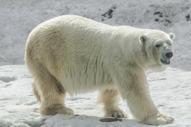 Orso polare (ursus maritimus)