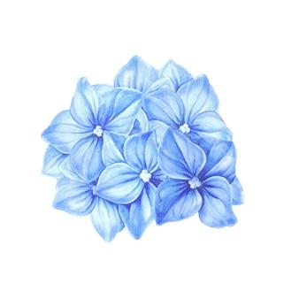Ortensia blu in fiore.