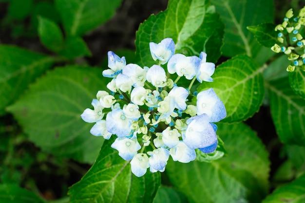 Ortensia di fioritura nel giardino