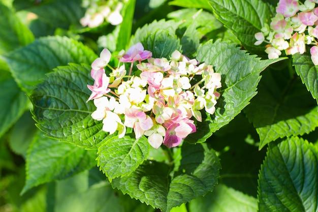 Ortensia di fioritura rosa nel giardino. sfondo della natura