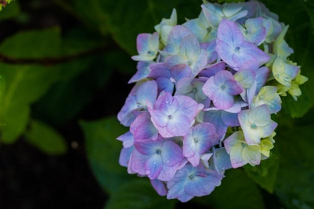 Ortensia. fiori blu dopo la pioggia