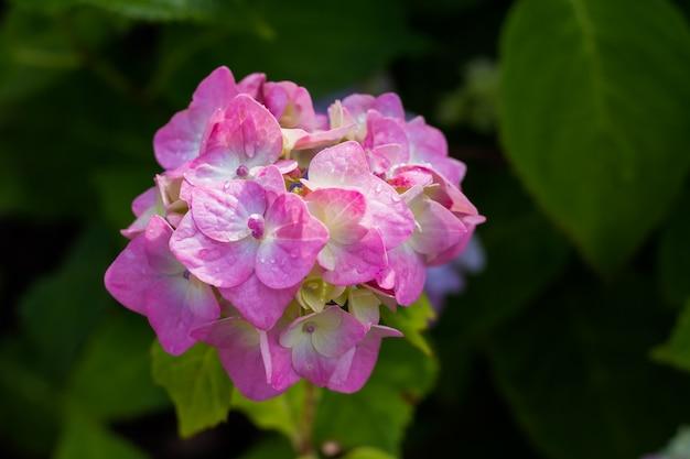 Ortensia. fiori viola bagnati dopo la pioggia