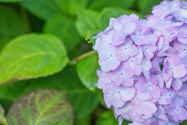 Ortensia in giardino dopo la pioggia