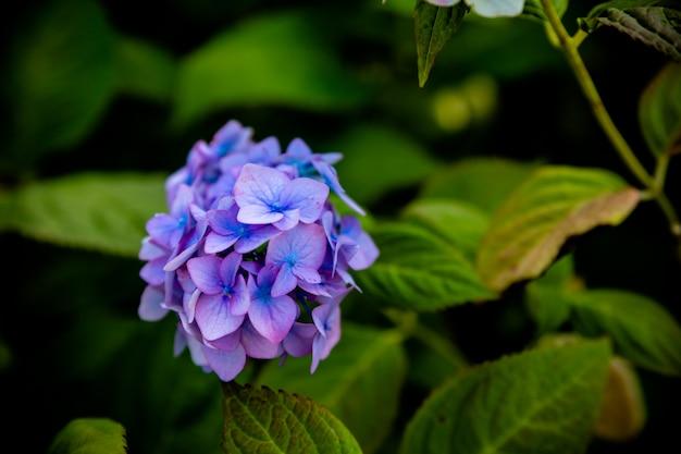Ortensia in giardino