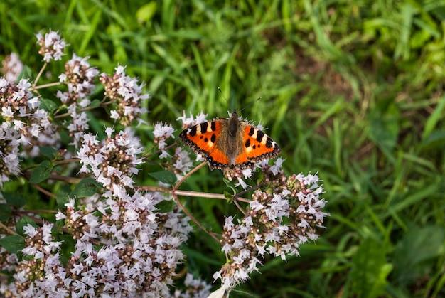 Orticaria di bella farfalla, urticae di aglais, urticae di nymphalis