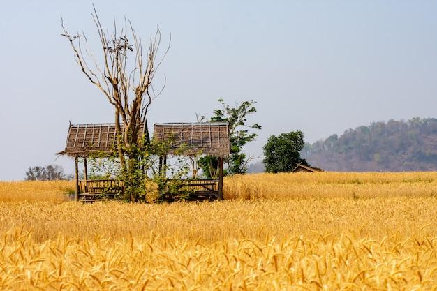 Orzo nel test di conversione sul campo nella tailandia settentrionale