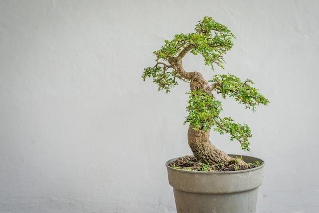 Osteomeles subrotunda bonsai
