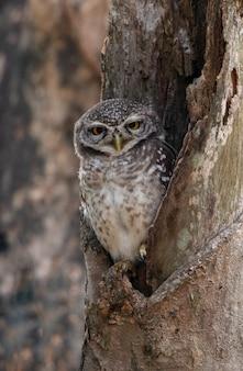 Owlet Spot nella cavità di legno
