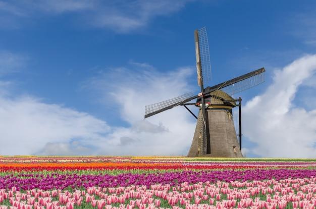 Paesaggio del mazzo olandese dei tulipani e dei mulini a vento a amsterdam, paesi bassi.