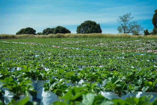 Paesaggio dell'azienda agricola della fragola con cielo blu e grande albero dietro