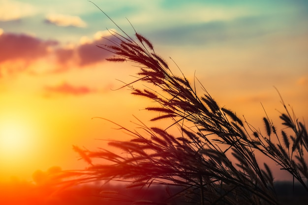 Paesaggio della campagna della siluetta di tramonto del fiore dell'erba piuma.