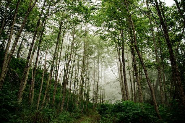 Paesaggio della foresta verde sottile dei tronchi di albero alto con la nebbia nel lontano