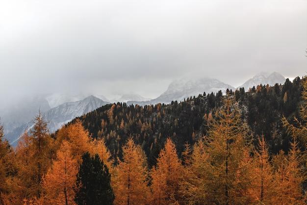 Paesaggio di alberi di pino marrone