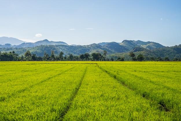 Paesaggio di toraja e agricoltura sulawesi, indonesia
