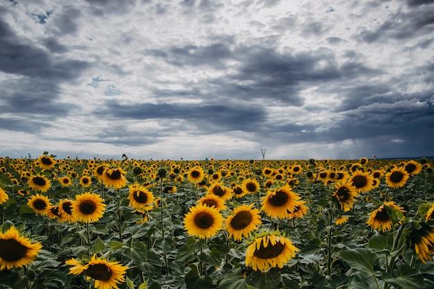 Paesaggio di un campo con girasoli, cielo piovoso sopra il campo.