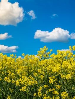 Paesaggio estivo con cielo blu ed erba verde con fiori gialli.