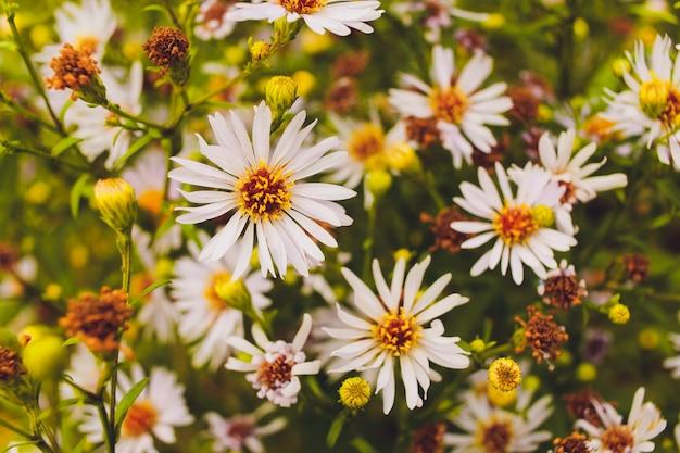Paesaggio estivo luminoso con bellissimi fiori selvatici camomiles.
