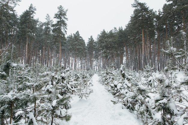 Paesaggio innevato nella foresta di inverno di pino