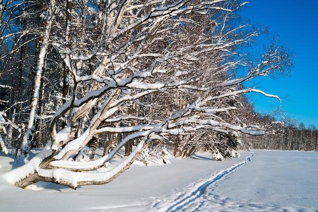 Paesaggio invernale nella foresta innevata e sci
