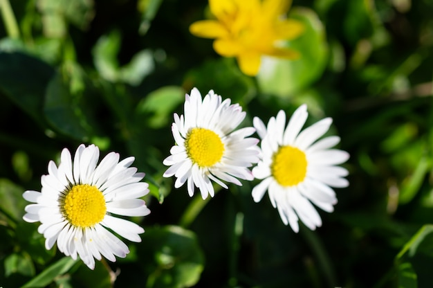 Paesaggio luminoso della primavera con i bei camomiles dei fiori selvaggi in erba verde