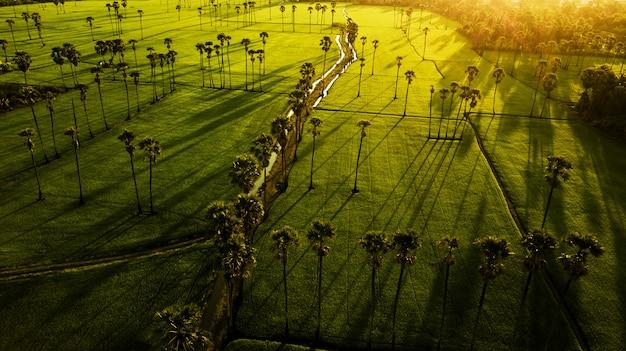 Paesaggio palme di zucchero e campo di riso