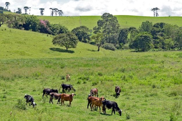Paesaggio rurale con bestiame, erba e alberi. minas gerasi; brasile