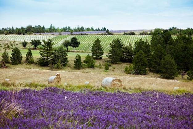 Paesaggio rurale con campi di lavanda e rotoli di paglia