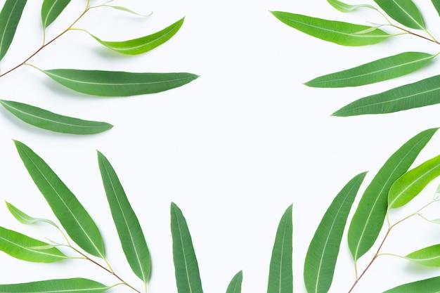 Pagina fatta dei rami verdi dell'eucalyptus su fondo bianco