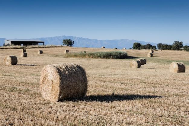 Paglia rotolata del raccolto nel campo asciutto